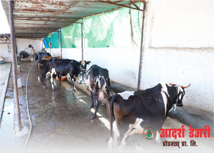 shed-for-cattles-food-for-cattles-time-to-time-feed-milk-processing
